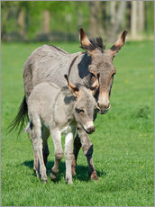 Gallery Print  Donkey mum and her little baby