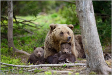 Gallery print  Brown bear with cubs in forest