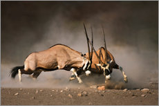 Wall sticker Oryx antelopes in combat