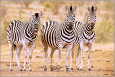 Gallery print  Three Zebras, one is so tired - wiw