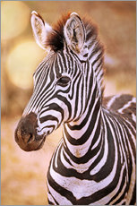 Wall Stickers  Young Zebra, South Africa - wiw