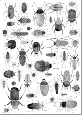 Gallery print  Beetles, black and white - Nic Squirrell