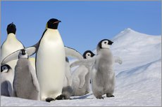 Wall sticker  Emperor penguins with chicks - Keren Su