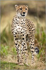 Gallery print  Cheetah on the prowl - Joe & Mary Ann McDonald