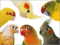 Gallery print  Colorful parakeets