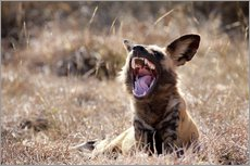 Gallery print  Yawning wild dog - Wendy Kaveney