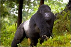 Gallery print  Mountain gorilla on a foray - Ralph H. Bendjebar