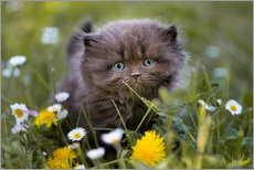 Gallery print  kitten on a meadow in summer - Janina Bürger