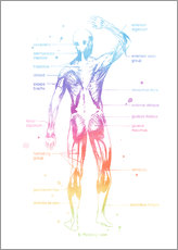 Gallery print  Rainbow Muscle System II - Mod Pop Deco