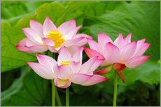 Wall Stickers  Three Indian lotus flowers in detail - Adam Jones