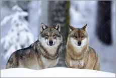 age fotostock - Wolves in the snow