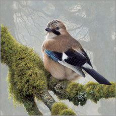 Gallery print  Eurasian Jay sits on a mossy branch - Ikon Images