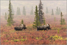 Wall Stickers  Elks wander through the taiga - Alaska Stock