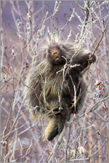 Gallery print  Porcupine hanging to a Willow branch - Alaska Stock