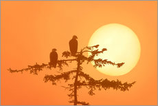 Gallery Print  Silhouette of Bald Eagles - Alaska Stock