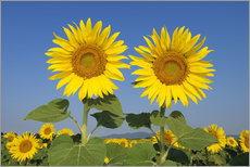 Wall sticker  Two sunflowers - Radius Images