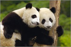 Gallery print  Young pandas at tree trunk - Pete Oxford