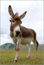 Gallery print  Portrait of the donkey - Click Alps