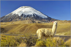 age fotostock - Alpaca at the foot of the Parinacota volcano near Chungara lake, Chile.