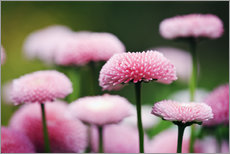 Gallery print  Pink daisies - age fotostock