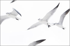 Gallery print  Flying seagulls - Image Source
