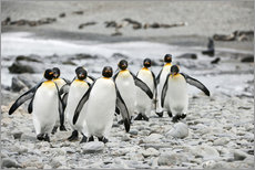 Gallery print  Penguins on the beach - ES Pictures