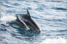 Gallery Print  Eastern Pacific dolphin beside his mother - Dave Fleetham