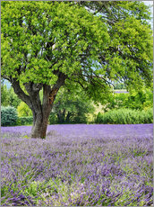 Gallery print  Lavender field in Provence - Terry Eggers