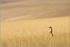 Gallery print  Meerkats in the prairie - Janet Muir