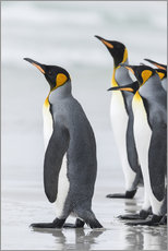 Martin Zwick - King Penguin on the Falkand Islands