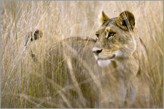 Gallery print  Lioness in the high grass - Janet Muir