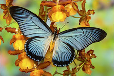 Gallery print  Blue butterfly on yellow blossom - Darrell Gulin