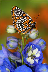 Darrell Gulin - Colorful Baltimore Checkered Spot Butterfly