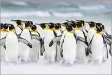 Gallery print  King Penguins on Falkand Islands - Martin Zwick
