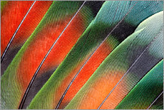Gallery print  Fanned Agapornids feathers - Darrell Gulin