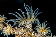 Wall sticker  Beautiful tiger anemone - Bruce Shafer