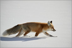 Wall sticker  Red fox, stalking through the snow - James Hager