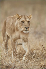 Wall sticker  Lioness in Tanzania - James Hager