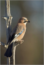 Gallery Print  Eurasian jay on a small branch - Janette Hill