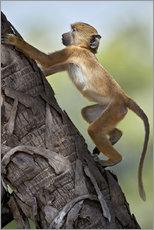 Wall sticker  Yellow baboon while climbing, Tanzania - James Hager