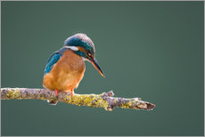 Gallery print  Peeking kingfisher - Matthew Cattell