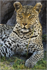 Gallery print  Leopard resting in the shade - Sergio Pitamitz