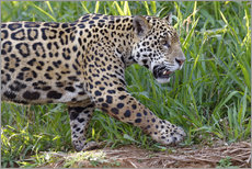 Gallery print  Young Jaguar at a riverside - G & M Therin-Weise