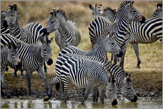 Gallery print  Zebra herd at the waterhole - James Hager