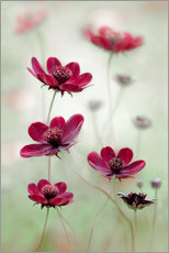 Gallery print  Cosmos sway - Mandy Disher