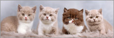 Gallery print  British Shorthair kitten - Janina Bürger