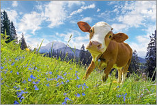 Wall sticker  Young cattle Muhh - Michael Rucker