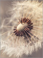 Gallery Print  Dandelion closeup nature - Julia Delgado