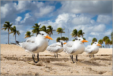 Premium poster Terns on the beach, Florida