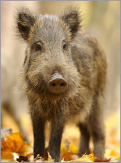 Premium poster A boar in the autumn
